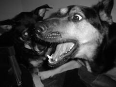 Terminate! (*Seuss*) Tags: dog god kilroy fight bed play fun bite chew attack maul laser terminate
