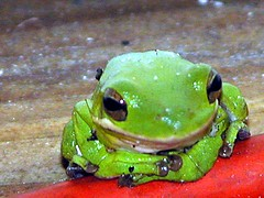green tree frog (therese flanagan) Tags: portrait green top20np topv333 florida amphibian frog explore treefrog greentreefrog thereseflanagan thereseflanagancom nikonstunninggallery