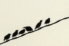 fog birds telephone wire close (zen) Tags: morning birds animals fog neighborhood powerlines cover wires printed 20041008 birdsonwire westasheville anecdote birdonwire zensutherland