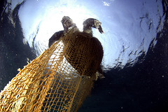 Turtle in Net CS-SumerVerma-Greenpeace (Capitan Giona) Tags: sea india mare turtle greenpeace natura morte reproduction tartaruga riproduzione
