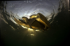 Mating Turtles - Greenpeace (Capitan Giona) Tags: sea india sex mare turtle greenpeace natura reproduction tartaruga sesso riproduzine
