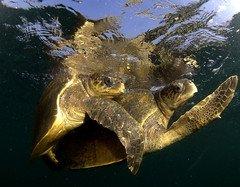 Accopiamento Tartarughe (Capitan Giona) Tags: sea india sex mare turtle greenpeace natura reproduction tartaruga ecologia sesso riproduzione