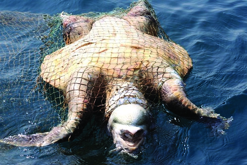 dead turtle in net - ashish fernandes by Capitan Giona.