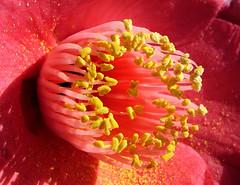 Kamelie (Gertrud K.) Tags: flowers red macro camellia theaceae ccmpclosencounter