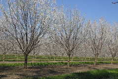 plum orchard (webchick) Tags: california oroville hwy99 plumtrees