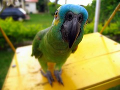 green parrot on a yellow swing (joaobambu) Tags: color green bird colors animal yellow topv111 catchycolors cores interestingness interesting eyes topv333 colorful poetry poem dof looking perspective parrot swing tribute creature cor bicho passaro papagaio