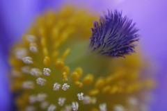 Pasque Flower (code poet) Tags: blue macro topf25 beautiful yellow topv111 topv2222 wow topf50 topv555 topv333 purple lexington kentucky quality topv1111 topv999 arboretum 100v10f 100mm topv5555 500v50f topv777 topv3333 topv4444 pasque pulsatillapatens ccmpclosencounter apexmacro