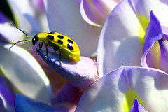 wisteria spotted visitor (jaki good miller) Tags: yellow bug interestingness bravo quality beetle explore spots ladybug exploreinterestingness jakigood wisteria amarilla chinita cucumberbeetle top500 explorepage yelloworld insectsandspiders explored specnature explorepages