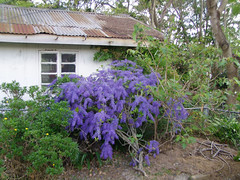 Purple Rain (Cyron) Tags: 2004 topv111 wow photo backyard purple garage cyron petrea volubilis verbenaceae