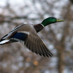 Duck In Flight thumbnail