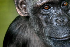 sally (owenbooth) Tags: wow chimp sally ape chimpanzee primate monkeyworld canoneos300d greatape nurserygroup ripjimcronin19522007