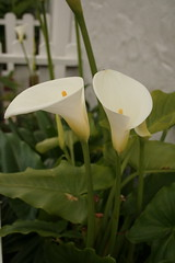 Calla Lily sibs (janmegk) Tags: flower callalily