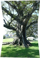TreeInPark (nospuds) Tags: tree sydney panoramic