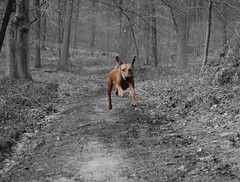 I Believe I Can Fly! (fanz) Tags: fanz ridgeback rhodesian fly flying bw dog wood forest running jumping speed cutout girl pet energy high nikonstunninggallery jump rhodesianridgeback