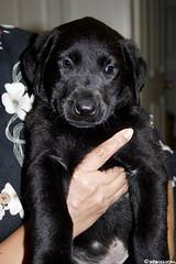 A small visitor (nikita2471) Tags: dog black cute yellow puppy lab soft labrador sweet retriever cuddly paws