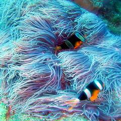 #2407 goldbelly anemonefish (クマノミ) (Nemo's great uncle) Tags: geotagged dive scuba diving okinawa 沖縄 anemonefish clarkii kerama 慶良間 クマノミ amphiprionclarkii goldbelly amphiprion interestingness173 i500 潜り geo:lat=26190256 geo:lon=127324333 goldbellyanemonefish