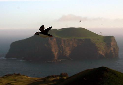 Puffin over Elliðarey by Ingólfur