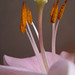 Lily stamen and anthers