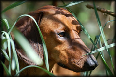 Bushman Alex.... (Buikschuivers) Tags: park dog pet alex nature closeup d50 nikon play natuur dachshund top20dogpix browndog daschund teckel buikschuivers