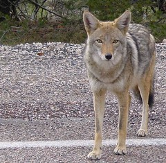 Coyotes have been seen in many parts of Seattle, including North Beacon Hill.  Photo by emdot.