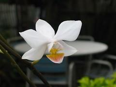 every flower tells a story. ang bulaklak na ito ay galing sa orchid na bigay sa akin ng isang kaibigang es-pulis. minsan kasi nagkainuman kami sa bahay ng kumpare niya malapit sa amin at kinaplog niya ang halaman na ito.
