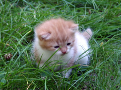 Outdoors (Steffe) Tags: orange pet cute green grass cat outside interestingness kitten sweden tungelsta bergdalen haninge hindenburg yf