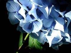(shannon rae) Tags: hyacinth shadows flower flowers
