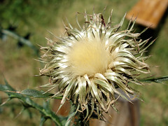 Gemeine Kratzdistel (Gertrud K.) Tags: macro thistle seeds urbannature cirsium asteraceae carduus