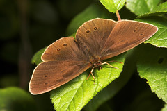 "Ringlet Butterfly (aphantopus hyperantus) • <a style=""font-size:0.8em;"" href=""http://www.flickr.com/photos/57024565@N00/188004201/"" target=""_blank"">View on Flickr</a>"