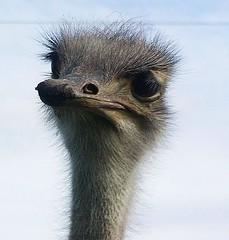 Just Another Ostrich (catbutler) Tags: newzealand bravo ostrich explore beaks bigbirds featheryfriday interestingness80 i500 specanimal animalkingdomelite drabbirds explore14jul06