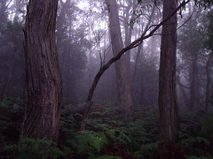 Foggy Forest - fog travel tree holiday mysterious thegrampians grampians dark trees australia magical away