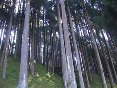 Cedars en route to Kalimpong