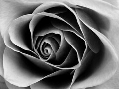 Rose in Black and White (Auntie P) Tags: flowers blackandwhite bw flower macro floral rose interesting interestingness1 topv5555 topf100 cy2 challengeyouwinner 30faves30comments300views msh1108 msh11082