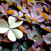 Oxalis corniculata f  rubrifolia