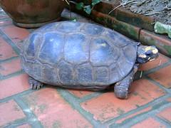 17 Fev 2004 BAMBU 008 (joaobambu) Tags: 2004 echaporã echapora february fevereiro chacara brazil brasil turtle