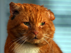 Angry Cat: feed me or... (Steffe) Tags: orange pet topf25 animal cat interestingness eyes december sweden whiskers greeneyes attitude tungelsta topv777 hungry bergdalen haninge 2004yitl svanspervot tough yf imissyou cat2000