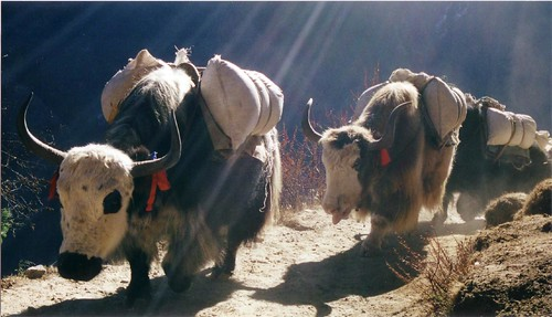 Yaks in Sunlight