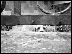 Curious Dog (Marcao) Tags: bw dog white black branco canon curioso pb preto cachorro curious