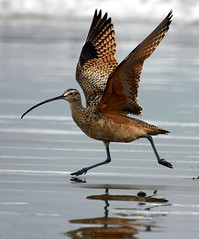 Long-billed Curlew - curlew-wings-ext 1701x2048 vesrion hi-res (mikebaird) Tags: bird birds birding aves explore creativecommons mostinteresting ornithology publication audubon birdwatcher curlew sandy2mikesvalenciapeak longbilledcurlew longbilled numeniusamericanus cornelllabofornithology myshowcase mikebaird avianexcellence mymostinteresting50 bairdphotoscom slbtakeoff