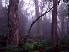 foggy forest - nature green dark australia grampians thegrampians outdoor fog mostfavourited tree countryside victoria