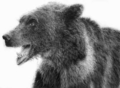 Grizzly bear (ctang) Tags: bear art fire drawing wildlife bears memory colbert opinion permanent stevencolbert brownbear oldglory grizzlybear stephencolbert scomp silvertipbear beardrawing iamamerica younggrizzly makemeamerica grizzlybeardrawing drawingfire