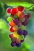 Grapes 7863 (kbaranowski) Tags: grapes ©2016krzysztofbaranowski nature beautyinnature leav