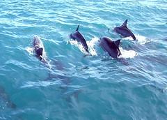 Dolphin Crest (jurvetson) Tags: topf25 animals hawaii top20np topf50 dolphin topv1111 dolphins kona thanksforallthefish stevenjohnson 1500v60f
