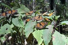 Monarchs, Sierra Chincua (Mexicanwave) Tags: monarchs butterflies mexico michoacan migration sierrachincua