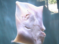 face (shannonblogs) Tags: stingray ray blue white face smile beady eyes water shannonblogs
