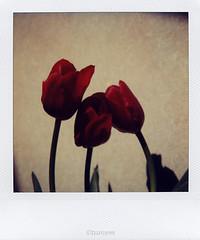Hug (tearoom) Tags: red flower polaroid sx70 topv333 tulip
