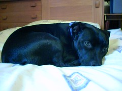 Cindy (Flxzr) Tags: dog black cindy staffordshirebullterrier staffy