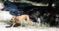 Oola Leads the Pack (Laertes) Tags: dog dane greatdane hurd oola stella