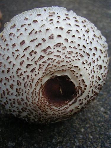 unknown parasol mushroom