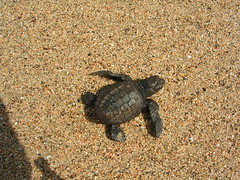 Baby green sea turtle (Greenery) Tags: cheloniamydas tortugaverde seaturtle